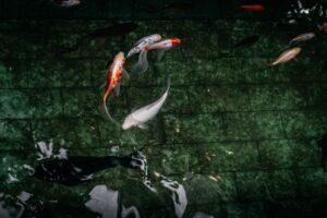 Koikarpfen im Teich